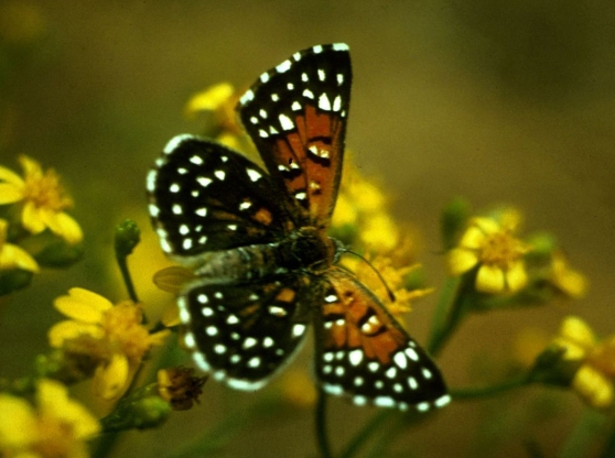 Species at risk: Mormon Metalmark (Apodemia mormo) butterfly depends on buckwheat host plant.