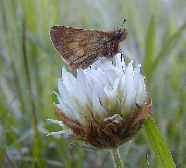 Mardon Skipper (Polites mardon) interdependent upon Early Blue Violet (Viola adunca)