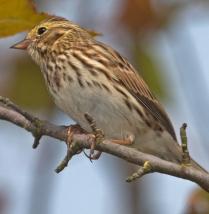 Savannah sparrow Passerculus sandwichensis