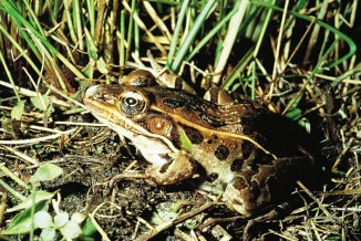 Rana_pipiens Northern Leopard Frog