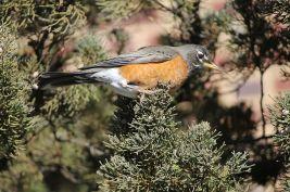 American Robin., Turdus migratorius