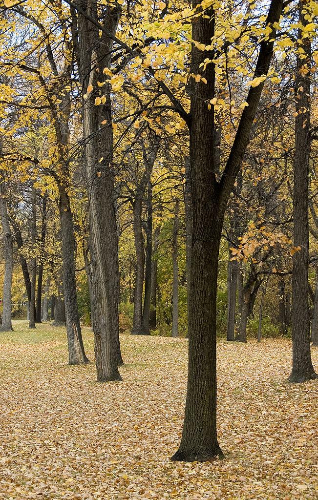Elm Trees_CC-BY-SA-2.0 BriYYZ