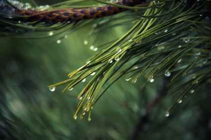 The long needles of the Scots Pine