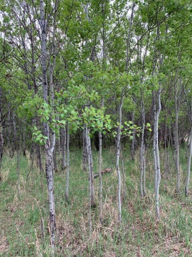 The Trembling Aspen is also referred to as the Quaking Aspen (Populus tremuloides Michx)